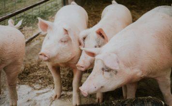 Quatre porcs dans un enclos