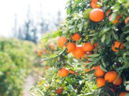 Un champ d'oranger