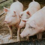 Viande bio : la production a doublé en cinq ans