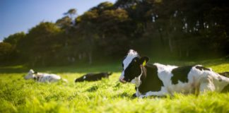 Des vaches dans un pâturage verdoyant.